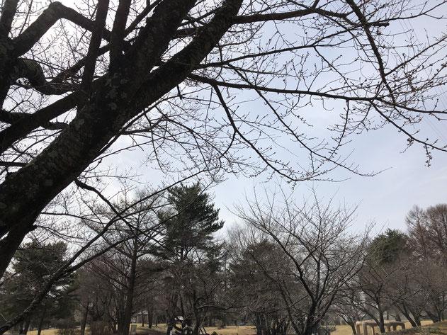 3月29日の御代田の雪窓公園の桜。