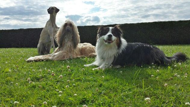 Drei Hunde auf Wiese