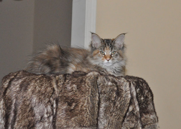 Buy a Maine Coon near Olathe Kansas