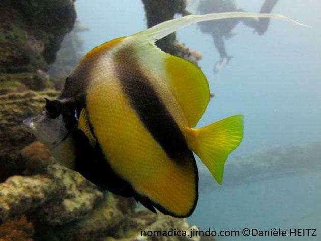 poisson, bandes, noires, dorsale, filament, long