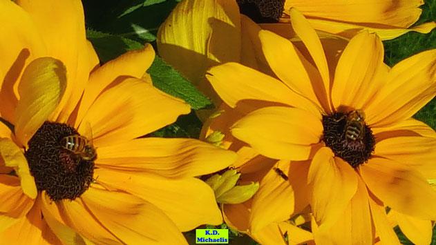 Große leuchtendgelbe Blüten des Sonnenhutes Rudbeckia mit zwei Honigbienen darauf von K.D. Michaelis