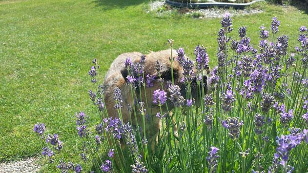 Hago riecht am Lawendel und studiert die Biene