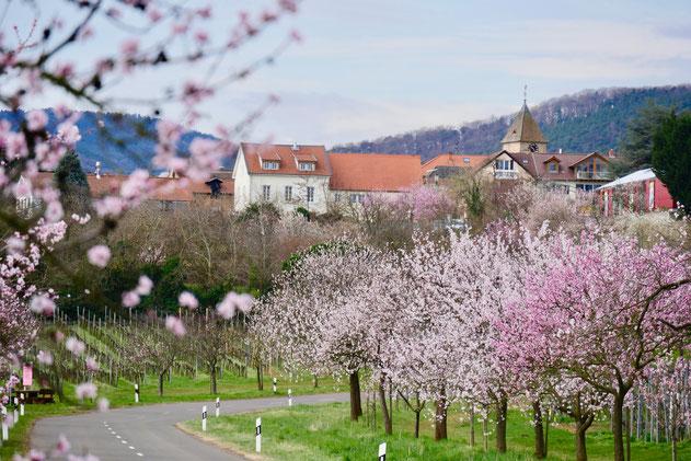 Sehenswürdigkeit Deutschland Mandelblüte Rheinland Pfalz