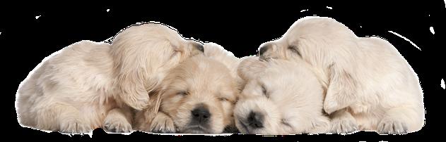 Vier schlafende Golden-Retriever Welpen auf der Seite Kontakt der Hundeschule MOMO - Hundeschule Bremen & Lilienthal