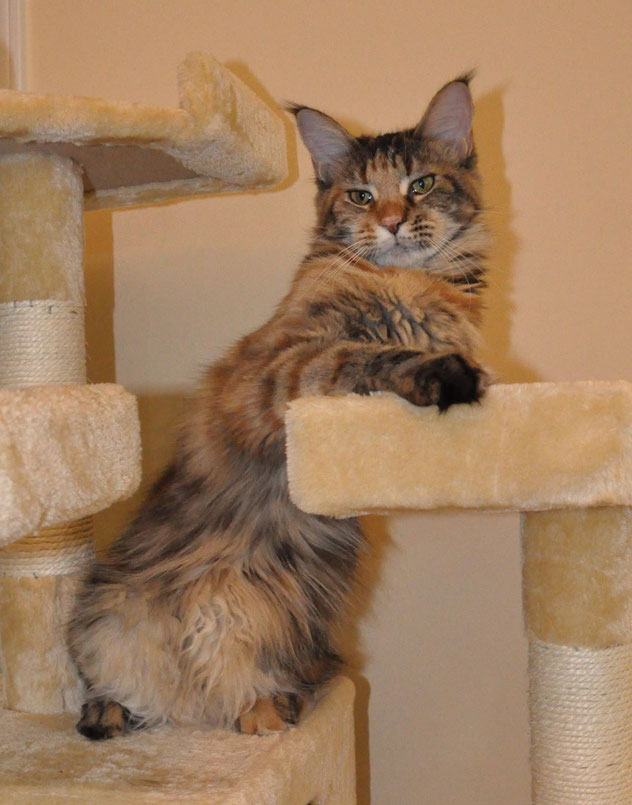 Europa of EuroCoons, Brown Patch Tabby Maine Coon (f22)