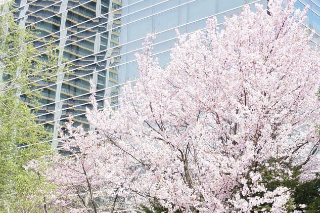北大植物園の桜