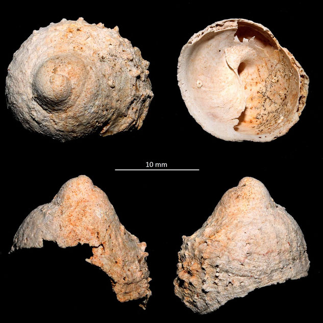 Calyptraea costaria, Miocene dell'Aquitania