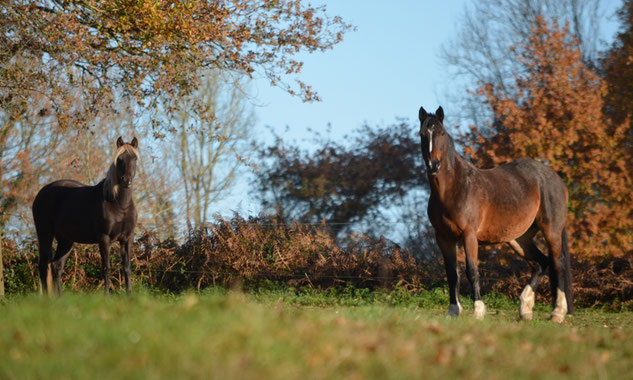 cheval rocky mountain horse pré broute manger de l'herbe patûre
