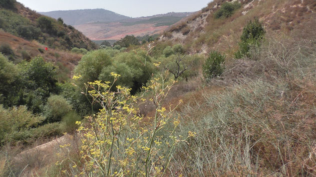 Anise shrubs in the Iyon Valley