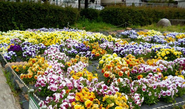 シーズンを終えつつあるパンジー花壇(古井戸公園、5/6撮影)。5月下旬には撤去(予定)
