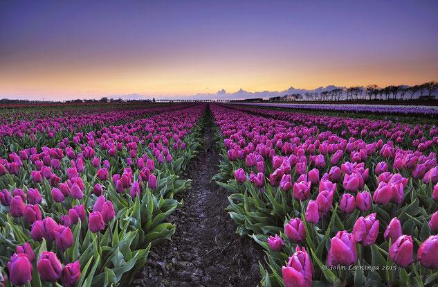 293 Tulpenveld bij zonsondergang