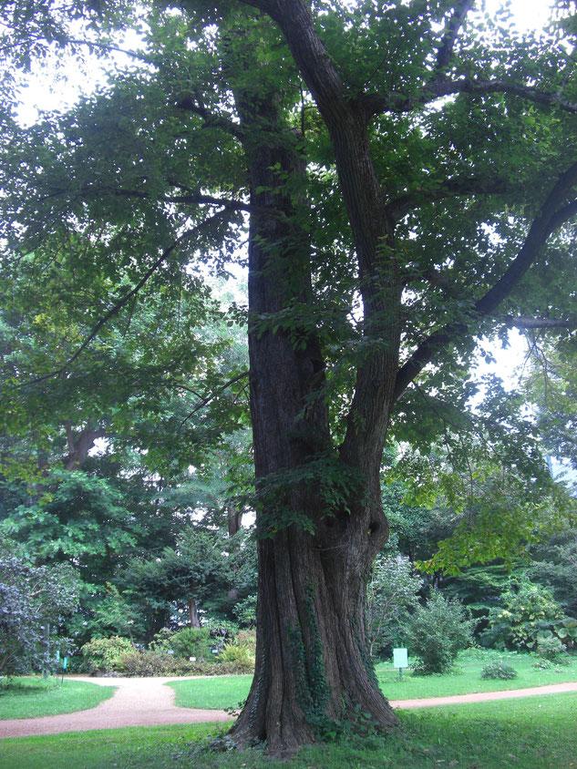 立派なハルニレの木(札幌で)