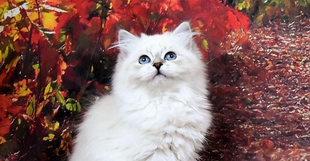 chaton sibérien néva masquérade