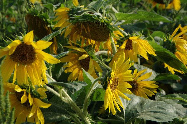 Sonnenblumen selbst schneiden - auch nach unseren Öffnungszeiten und am Wochenende