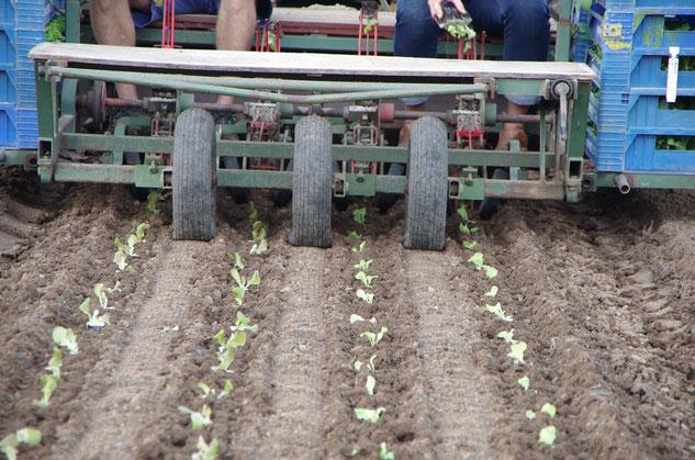 Die Salatreihe ist schon zu erkennen - in wenigen Wochen folgt die Ernte