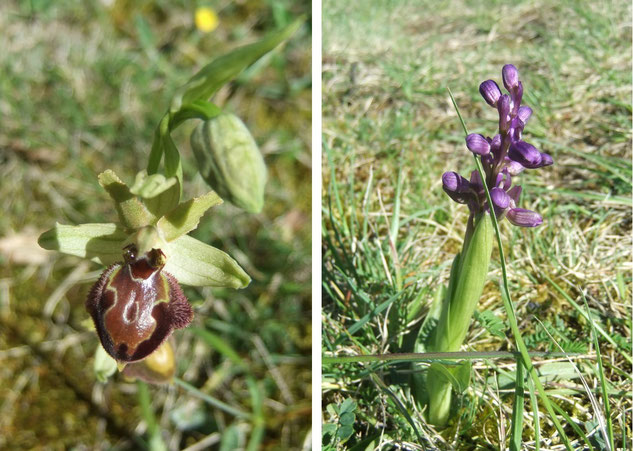 Ophrys litigieux (Ophrys araneola) et Orchis bouffon (Anacamptis morio)