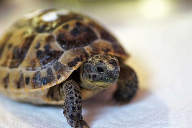 tartaruga terrestre veterinario milano