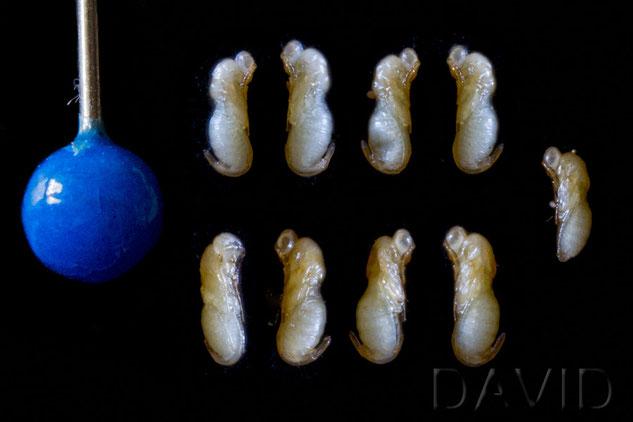 Erzwespe Monodontomerus obsoletus Puppe chalcidoid wasp parasite mason bee cocoon chrysalis