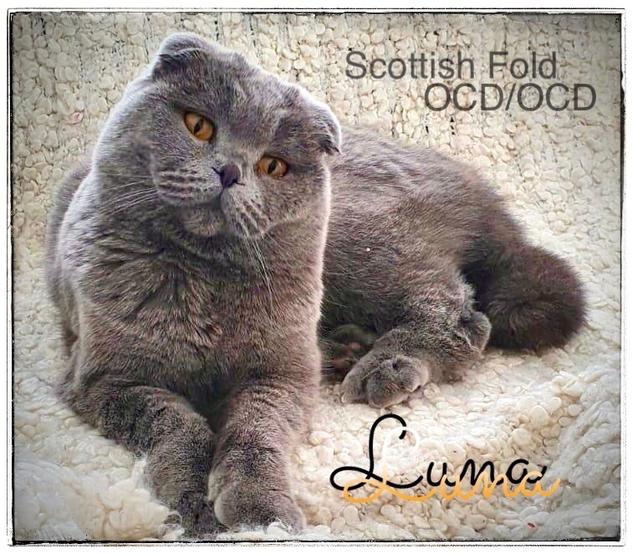 Scottish Fold Katze, Genotyp: OCD/OCD, Foto: Janina, 2020