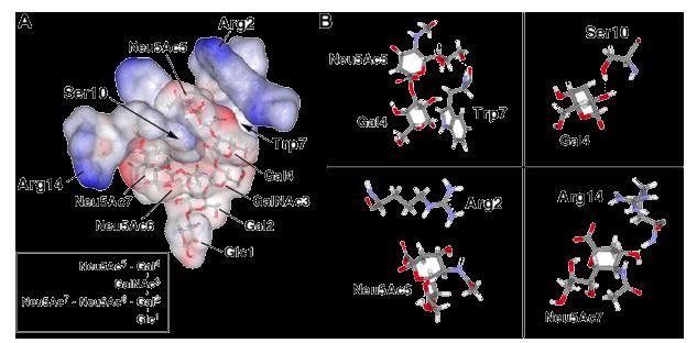 図5 GT1b / c10ペプチドとGT1bとの間の相互作用モデル。 (A) 分子動力学シミュレーションで得たペプチドのTrp7の側鎖を10Å以内でGT1bのGal4のB面に近づけた重ね合わせ。 GT1bの七糖のコンフォメーションは、Protein Data Bank(1FV2)から得た。 (B)ペプチド - 七糖複合体における認識のモデル。 水素結合は、緑色の点線で示されている。