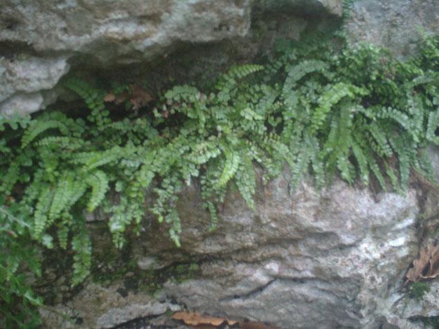 Fougère des rochers
