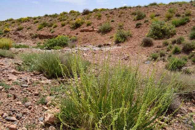 Biotope et Plantain-hôte au nord du Djebel Ayachi, Haut Atlas nord-oriental, 2018, ©Frédérique Courtin-Tarrier