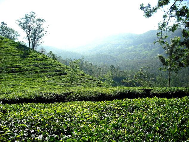 Bio-Teeplantage