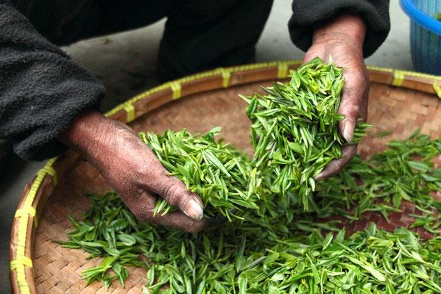 Bio-Tee nach der Ernte