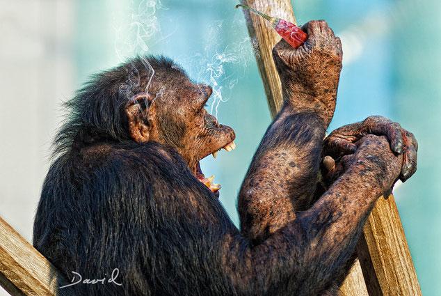 Schimpanse Fotomontage Werner David