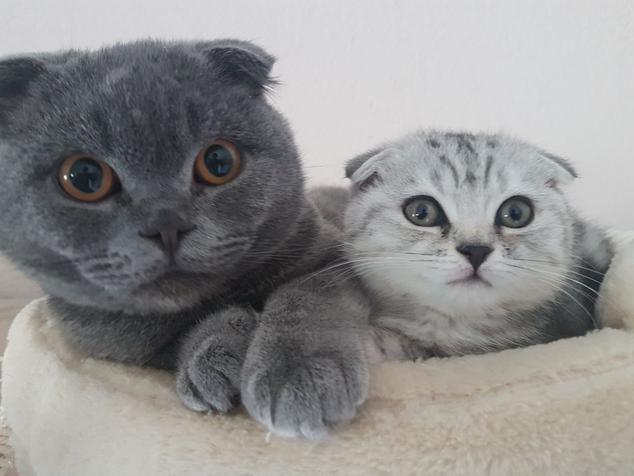 Gerichtsurteil: Zuchtverbot für Scottish Fold Katzen, Foto: Birgitta
