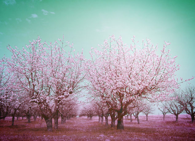 夢の中の桜
