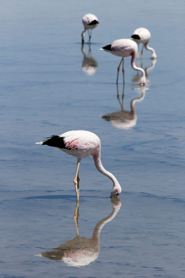 Flamingos in Laguna Chaxa reflections in the lagoon, San Pedro de Atacama, Desert, Chile, 1213x1820px