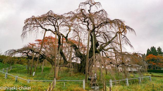 樹齢推定1000年超のベニシダレザクラの巨木 季節外れでもちろん誰もいない