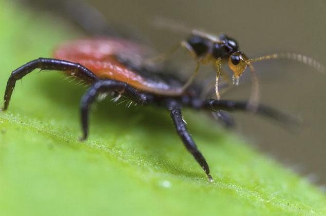 Stechmücke (Stack aus 40 Einzelaufnahmen)