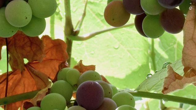 uva fragola, uva americana, fox grapes, green, orange, Autumn, September, rugiada, dew
