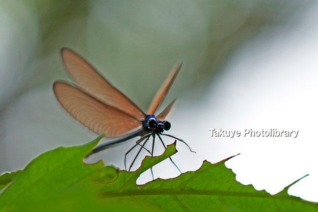 リュウキュウハグロトンボ♂ 沖縄の昆虫