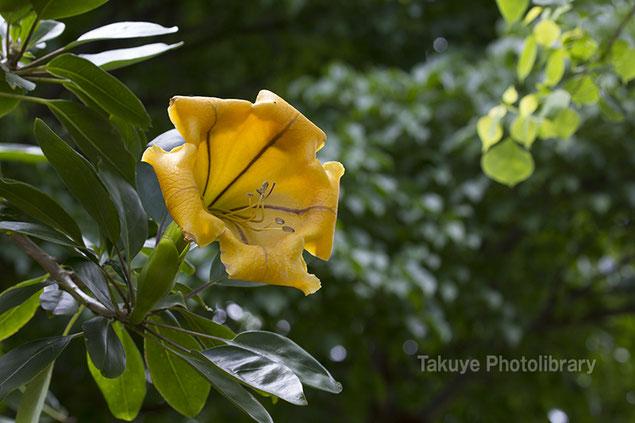 沖縄の花 ウコンラッパバナ