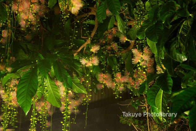 サガリバナ 沖縄の花 夏夜に咲く花 沖縄写真