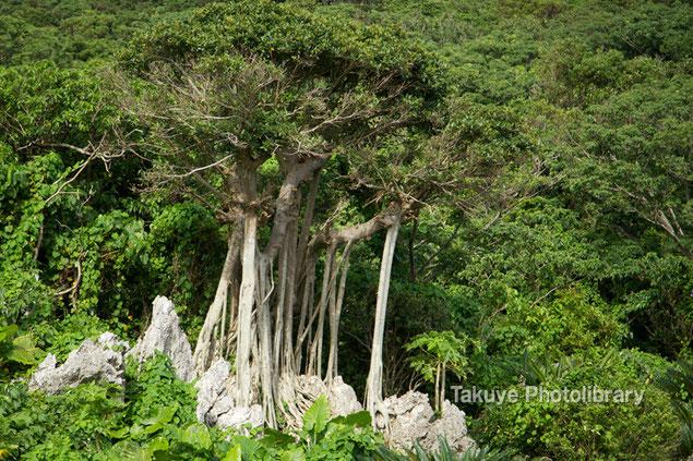 岩山に生きるガジュマルの木 沖縄の風景