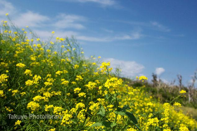 菜の花 沖縄の花 写真