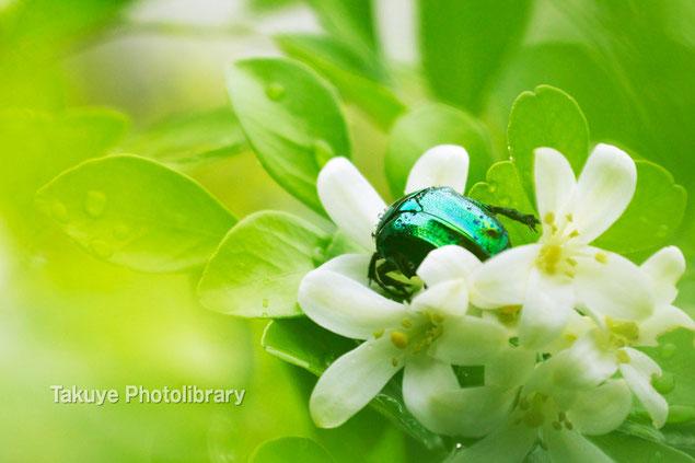 リュウキュウツヤハナムグリ 沖縄の昆虫写真