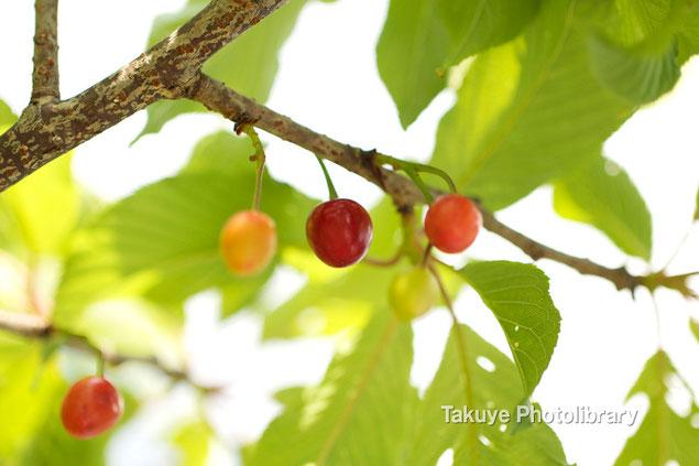 緋寒桜 さくらんぼ 沖縄の植物