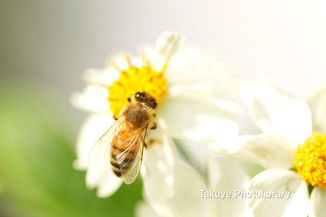 ミツバチ マクロ撮影 沖縄の昆虫