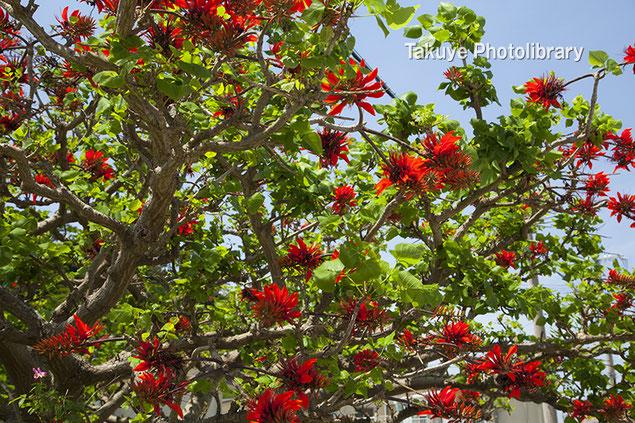 沖縄の県花 デイゴの花