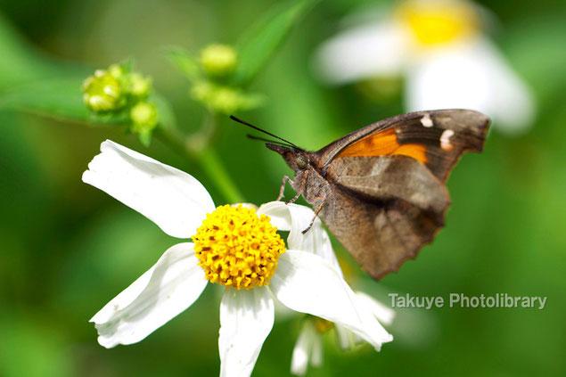 テングチョウ 沖縄の昆虫