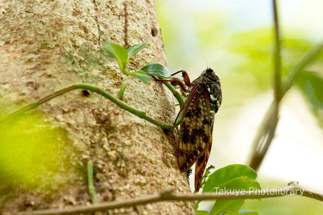 リュウキュウアブラゼミ 沖縄の昆虫
