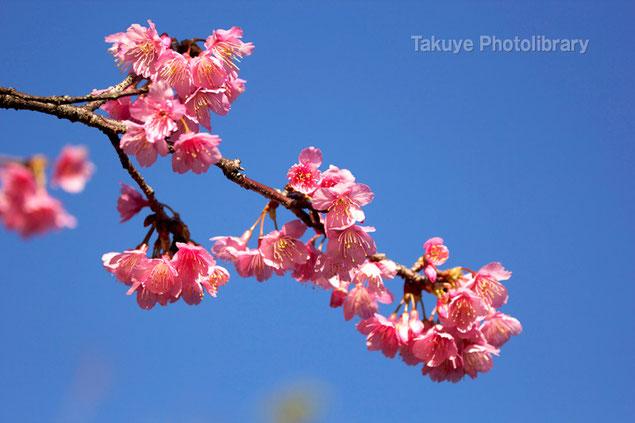 全国一早い開花。沖縄の緋寒桜 撮影:末吉公園