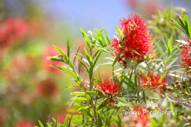 ブラシの木 沖縄の花
