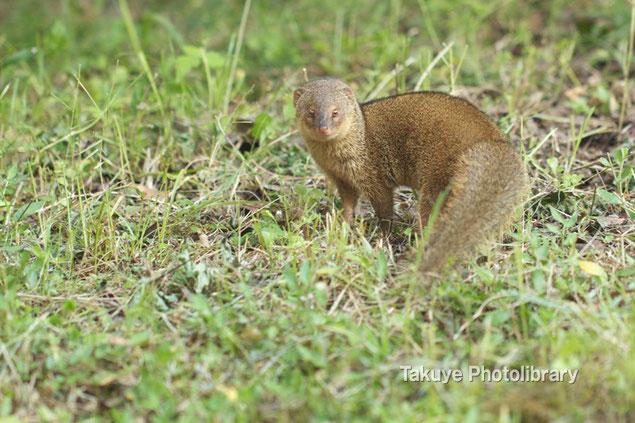 マングース 沖縄の動物 写真