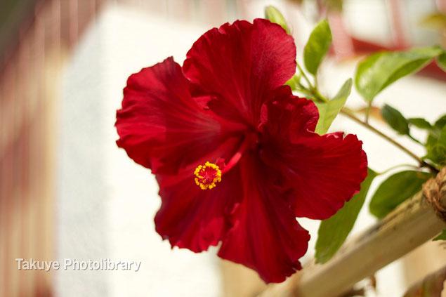 深紅のハイビスカス 沖縄の花